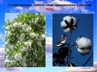 У хлопчатника, тополя семя прикреплено к легкому пуху.