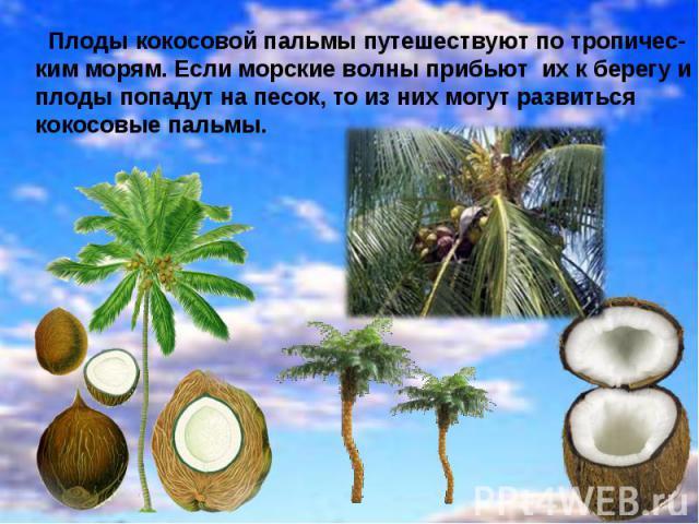 Плоды кокосовой пальмы путешествуют по тропичес- ким морям. Если морские волны прибьют их к берегу и плоды попадут на песок, то из них могут развиться кокосовые пальмы.