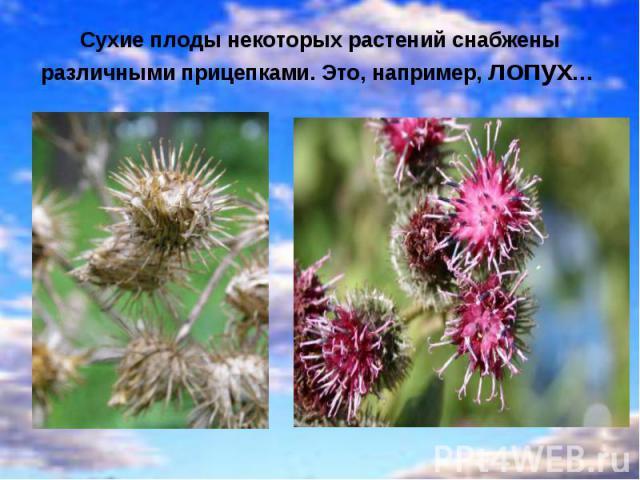 Сухие плоды некоторых растений снабжены различными прицепками. Это, например, лопух…