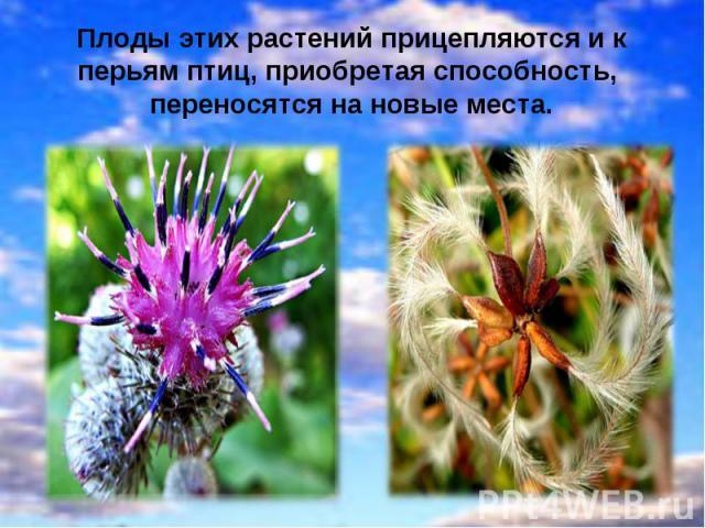 Плоды этих растений прицепляются и к перьям птиц, приобретая способность, переносятся на новые места.