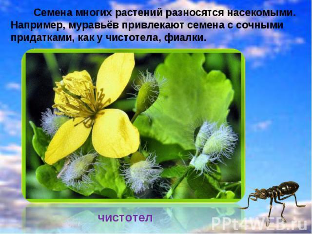 Семена многих растений разносятся насекомыми. Например, муравьёв привлекают семена с сочными придатками, как у чистотела, фиалки.чистотел
