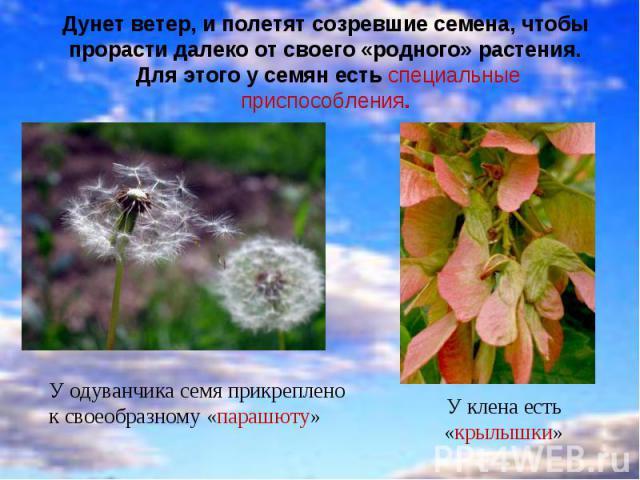 Дунет ветер, и полетят созревшие семена, чтобы прорасти далеко от своего «родного» растения. Для этого у семян есть специальные приспособления. У одуванчика семя прикреплено к своеобразному «парашюту»У клена есть «крылышки»