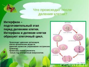 Что происходит после деления клетки?Интерфаза – подготовительный этап перед деле
