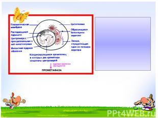Профаза – спирализация хромосом (хромосомы хорошо заметны), растворение ядерной