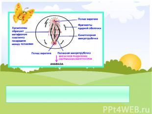 Метафаза – хромосомы располагаются по экватору клетки, прикрепляются к веретенам