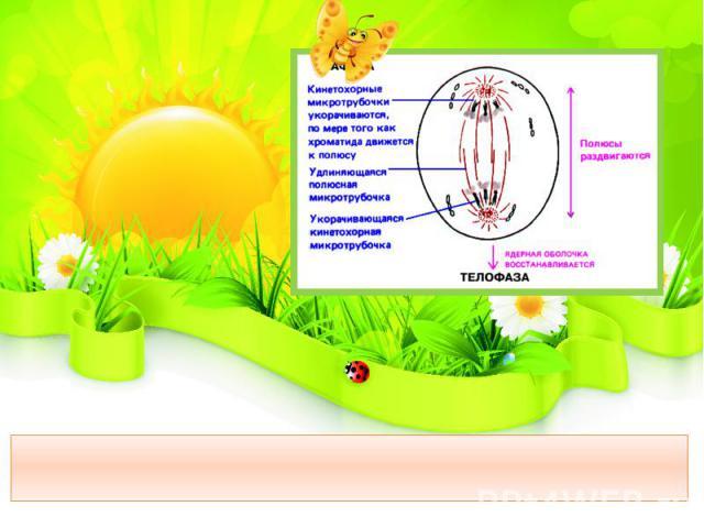 Анафаза – хроматиды (дочерние хромосомы) расходятся к полюсам клетки.