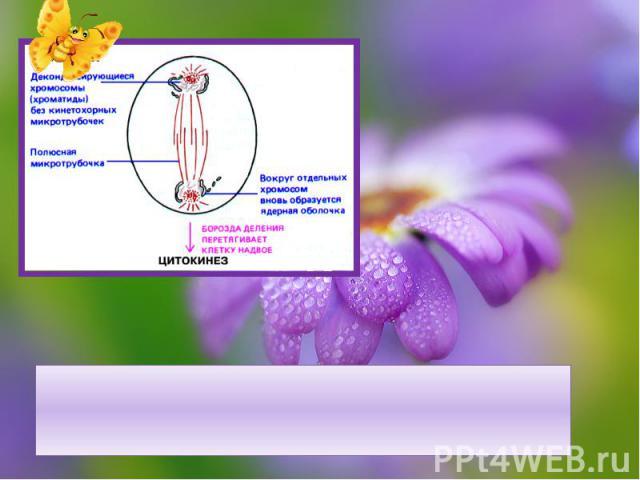 Телофаза – веретено деления исчезает, образуется ядерная оболочка, происходит деление цитоплазмы, образуется 2 клетки.
