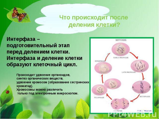 Что происходит после деления клетки?Интерфаза – подготовительный этап перед делением клетки. Интерфаза и деление клетки образуют клеточный цикл. Происходит удвоение органоидов, синтез органических веществ, удвоение хромосом (образование сестринских …