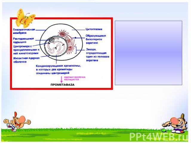 Профаза – спирализация хромосом (хромосомы хорошо заметны), растворение ядерной оболочки, появление веретена деления, исчезновение ядрышка.