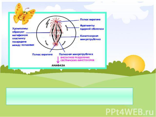Метафаза – хромосомы располагаются по экватору клетки, прикрепляются к веретенам деления.