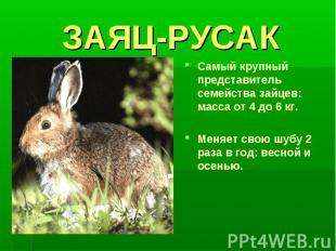 ЗАЯЦ-РУСАКСамый крупный представитель семейства зайцев: масса от 4 до 6 кг.Меняе