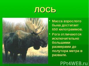 ЛОСЬМасса взрослого быка достигает 650 килограммов.Рога отличаются исключительно
