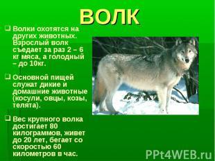 ВОЛКВолки охотятся на других животных. Взрослый волк съедает за раз 2 – 6 кг мяс