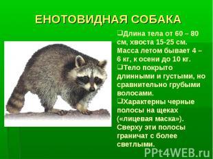 ЕНОТОВИДНАЯ СОБАКАДлина тела от 60 – 80 см, хвоста 15-25 см. Масса летом бывает