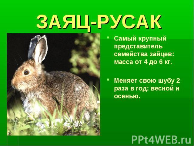 ЗАЯЦ-РУСАКСамый крупный представитель семейства зайцев: масса от 4 до 6 кг.Меняет свою шубу 2 раза в год: весной и осенью.