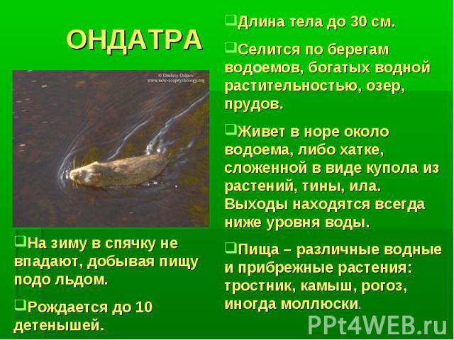 ОНДАТРАНа зиму в спячку не впадают, добывая пищу подо льдом.Рождается до 10 детенышей.Длина тела до 30 см.Селится по берегам водоемов, богатых водной растительностью, озер, прудов.Живет в норе около водоема, либо хатке, сложенной в виде купола из ра…