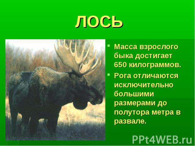 ЛОСЬМасса взрослого быка достигает 650 килограммов.Рога отличаются исключительно большими размерами до полутора метра в развале.