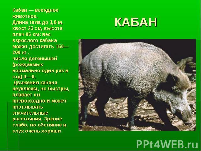 КАБАНКабан — всеядное животное.Длина тела до 1,8 м, хвост 25 см, высота плеч 95 см; вес взрослого кабана может достигать 150—200 кг .число детенышей (рождаемых нормально один раз в год) 4—6. Движения кабана неуклюжи, но быстры, плавает он превосходн…