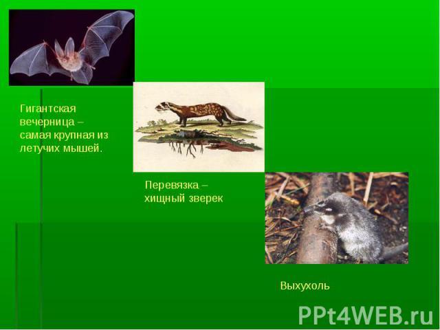 Гигантская вечерница – самая крупная из летучих мышей.Перевязка – хищный зверекВыхухоль