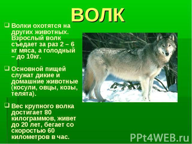 ВОЛКВолки охотятся на других животных. Взрослый волк съедает за раз 2 – 6 кг мяса, а голодный – до 10кг.Основной пищей служат дикие и домашние животные (косули, овцы, козы, телята).Вес крупного волка достигает 80 килограммов, живет до 20 лет, бегает…