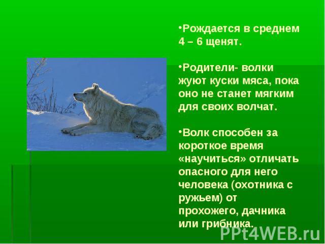 Рождается в среднем 4 – 6 щенят.Родители- волки жуют куски мяса, пока оно не станет мягким для своих волчат.Волк способен за короткое время «научиться» отличать опасного для него человека (охотника с ружьем) от прохожего, дачника или грибника.