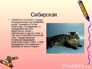 СибирскаяСИБИРСКАЯ КОШКА, порода полудлинношерстных домашних кошек. Выведена в Р