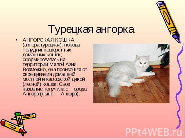 Турецкая ангоркаАНГОРСКАЯ КОШКА (ангора турецкая), порода полудлинношерстных домашних кошек; сформировалась на территории Малой Азии. Возможно, она произошла от скрещивания домашней местной и кавказской дикой (лесной) кошек. Свое название получила о…
