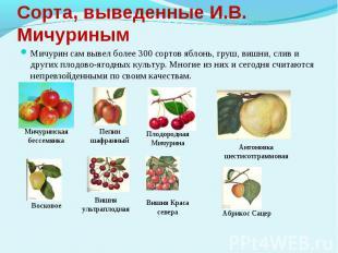 Сорта, выведенные И.В. МичуринымМичурин сам вывел более 300 сортов яблонь, груш,