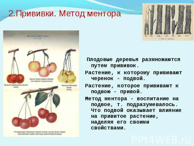 2.Прививки. Метод ментора Плодовые деревья размножаются путем прививок. Растение, к которому прививают черенок - подвой.Растение, которое прививают к подвою - привой.Метод ментора - воспитание на подвое, т. подразумевалось. Что подвой оказывает влия…