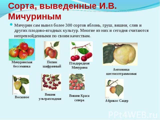 Сорта, выведенные И.В. МичуринымМичурин сам вывел более 300 сортов яблонь, груш, вишни, слив и других плодово-ягодных культур. Многие из них и сегодня считаются непревзойденными по своим качествам.