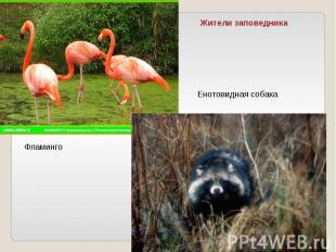 Жители заповедникаЕнотовидная собакаФламинго