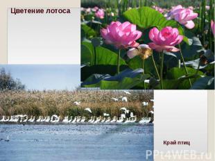Цветение лотосаКрай птиц