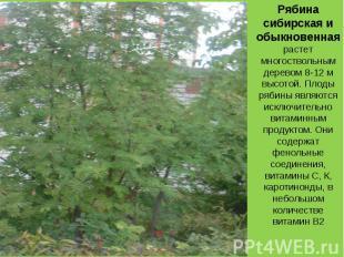 Рябина сибирская и обыкновенная растет многоствольным деревом 8-12 м высотой. Пл