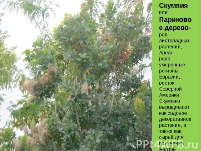 Скумпия илиПариковое дерево- род листопадных растений, Ареал рода— умеренные регионы Евразии, восток Северной Америки. Скумпию выращивают как садовое декоративное растение, а также как сырьё для получения жёлтой краски.