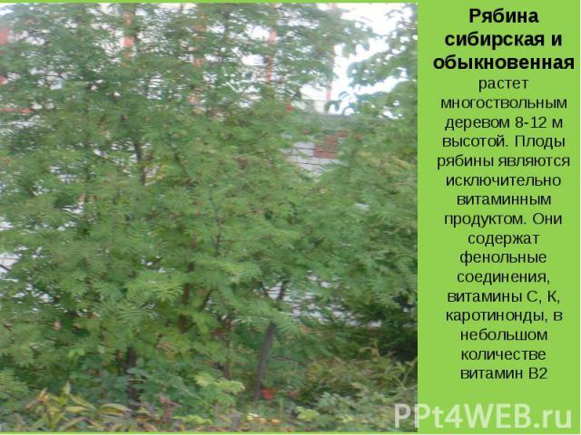 Рябина сибирская и обыкновенная растет многоствольным деревом 8-12 м высотой. Плоды рябины являются исключительно витаминным продуктом. Они содержат фенольные соединения, витамины С, К, каротинонды, в небольшом количестве витамин B2