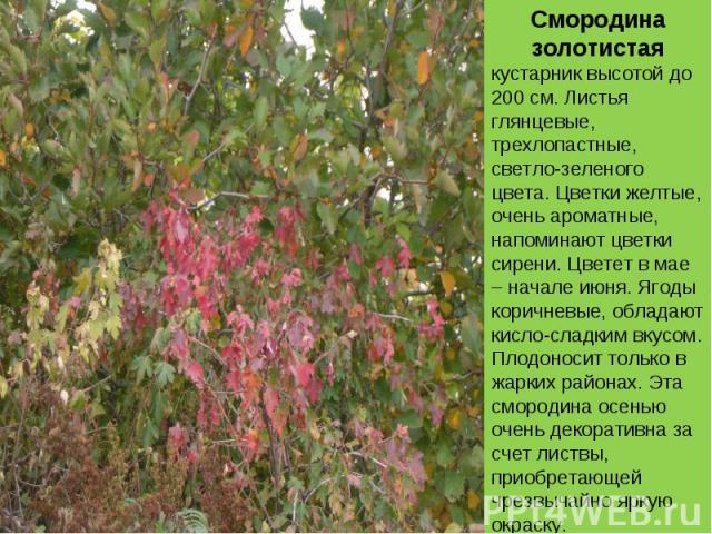 Смородина золотистаякустарник высотой до 200 см. Листья глянцевые, трехлопастные, светло-зеленого цвета. Цветки желтые, очень ароматные, напоминают цветки сирени. Цветет в мае – начале июня. Ягоды коричневые, обладают кисло-сладким вкусом. Плодоноси…