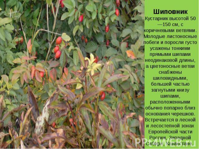 ШиповникКустарник высотой 50—150 см, с коричневыми ветвями. Молодые листоносные побеги и поросли густо усажены тонкими прямыми шипами неодинаковой длины, а цветоносные ветви снабжены шиловидными, большей частью загнутыми книзу шипами, расположенными…