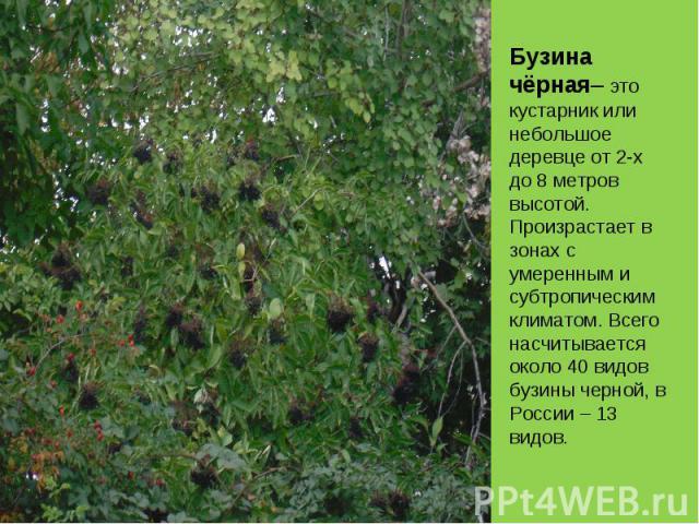 Бузина чёрная– это кустарник или небольшое деревце от 2-х до 8 метров высотой.Произрастает в зонах с умеренным и субтропическим климатом. Всего насчитывается около 40 видов бузины черной, в России – 13 видов.