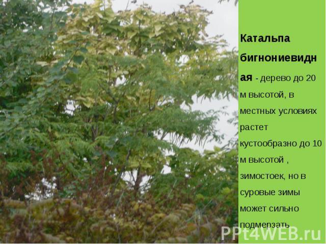 Катальпа бигнониевидная - дерево до 20 м высотой, в местных условиях растет кустообразно до 10 м высотой , зимостоек, но в суровые зимы может сильно подмерзать