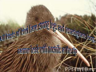 All kinds of kiwi have strong legs and tetradigitate long,narrow beak with nostr
