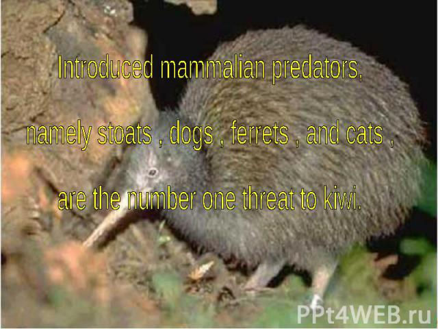 Introduced mammalian predators, namely stoats , dogs , ferrets , and cats , are the number one threat to kiwi.