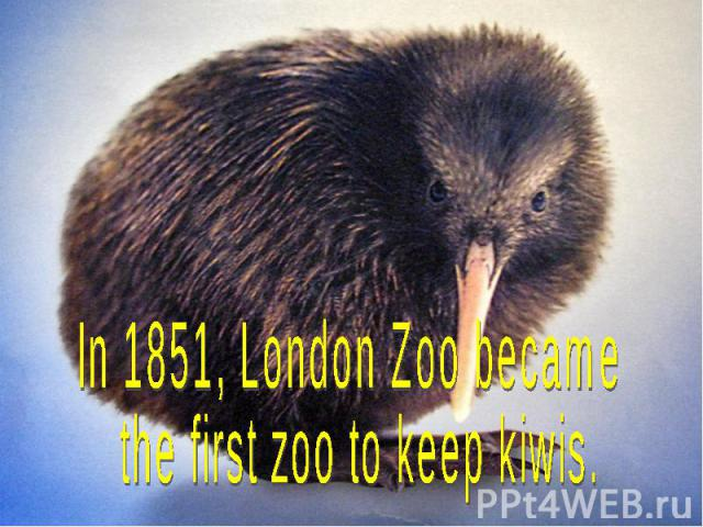 In 1851, London Zoo became the first zoo to keep kiwis.