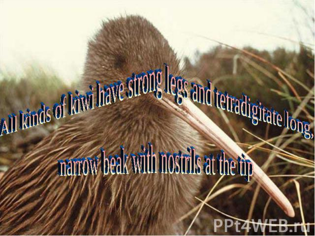 All kinds of kiwi have strong legs and tetradigitate long,narrow beak with nostrils at the tip