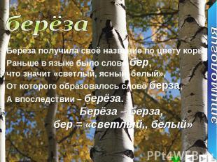 берёзаБерёза получила своё название по цвету коры.Раньше в языке было слово бер,