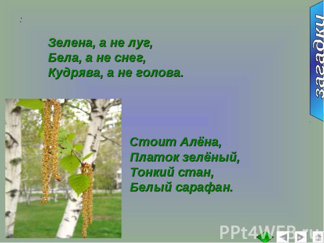 Зелена, а не луг,Бела, а не снег,Кудрява, а не голова.Стоит Алёна,Платок зелёный,Тонкий стан, Белый сарафан.