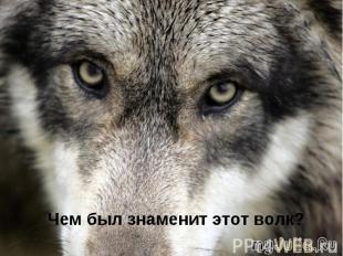 Чем был знаменит этот волк?