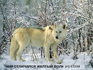 Чем отличался желтый волк из стаи Лобо?