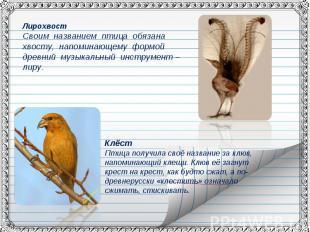 ЛирохвостСвоим названием птица обязана хвосту, напоминающему формой древний музы