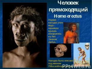 Человек прямоходящийHomo erectus Первая находка этого вида - черепная крышка, об