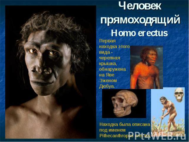 Человек прямоходящийHomo erectus Первая находка этого вида - черепная крышка, обнаружена на Яве Эженом Дюбуа. Находка была описана под именем Pithecanthropus erectus